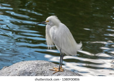 snowy egret (Egretta thula) is a small white heron. The snowy egret is the American counterpart to the similar Old World little egret, which has established a foothold in the Bahamas.