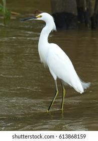 Snowy egret (Egretta thula) is a small white heron. Amazon rainforest Brazil