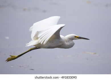 Snowy Egret (Egretta thula) spotted outdoors in San Francisco