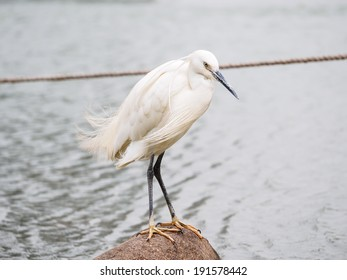 Snowy Egret (Egretta thula) Standing on rocks in the water, Shanghai, China