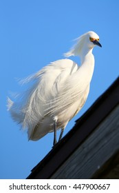Snowy egret (Egretta thula) standing on a roof