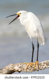 Snowy Egret (Egretta thula) Standing on Branch at Edge of Ocean with Beak Open - Fort Myers Beach, Florida