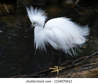 Snowy Egret in it's environment.