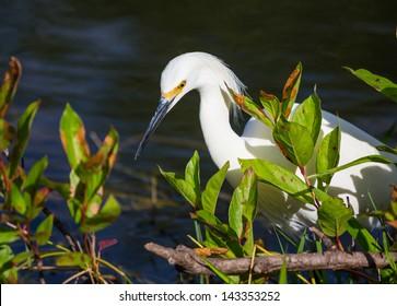 snowy egret in Everglades National Park, Florida.