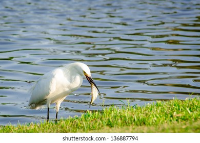 Snowy Egret with Fish in Mouth