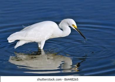 snowy egret fishing in florida wetland pond