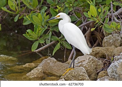 "Snowy Egret fishing on the bank at the J. N. ""Ding"" Darling National Wildlife Refuge on Sanibel Island."