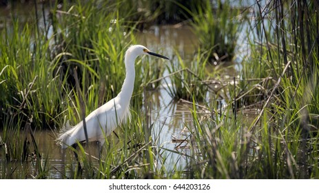 A snowy egret fishing in the water among reeds