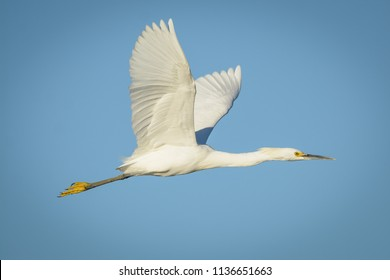 A snowy egret flapping its wings in mid flight with blue sky