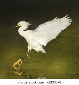 Snowy Egret in flight. Latin name - Egreta tula.