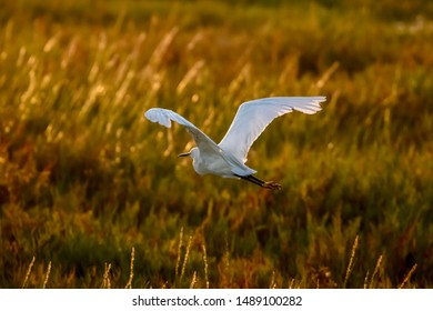Snowy egret in flight over the marsh during sunset