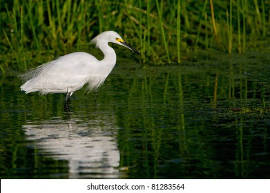 snowy egret in florida wetland pond