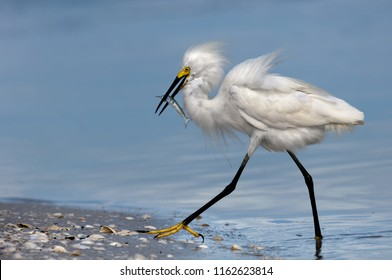 A snowy egret with fluffy feathered plumage wades out of the water with a ballyhoo fish catch at Wiggins Pass, Florida.