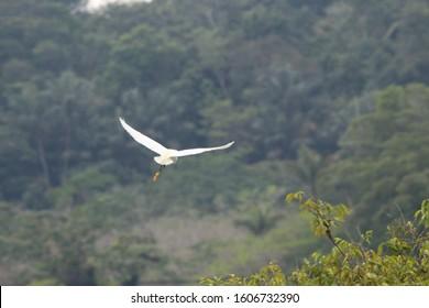 Snowy egret flying in Amazon Rainforest in Cuyabeno Wildlife Reserve, Ecuador.