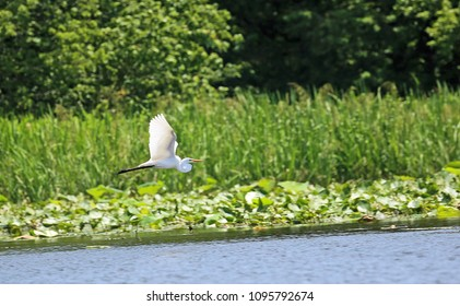 Snowy egret flying - Reelfoot Lake State Park, Tennessee