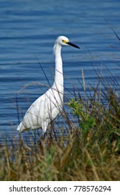 Snowy Egret with foliage and water