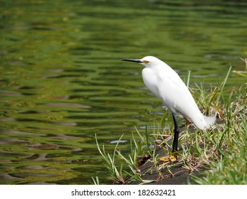Snowy Egret with head tilted to side, standing by a lake.