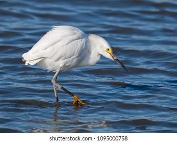 Snowy Egret Hunting