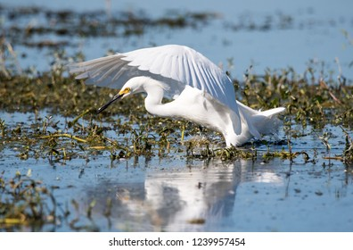 Snowy egret hunting for fish