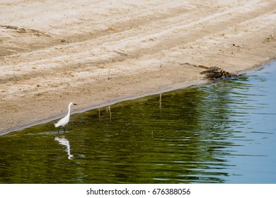 Snowy Egret hunting for food in shallow water near the shore of a lake