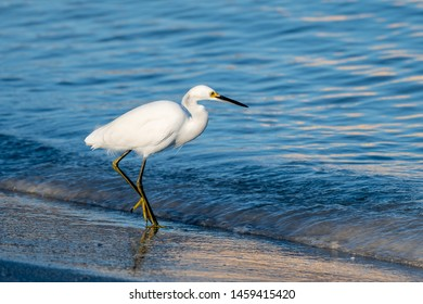 Snowy egret hunting on on the shore of the Gulf of Mexico