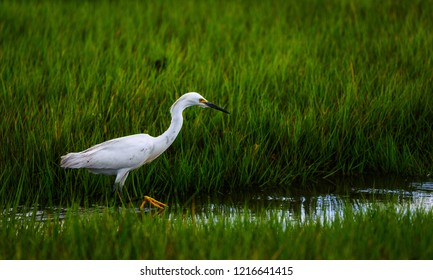 A Snowy Egret hunts for prey in the saltwater marsh.