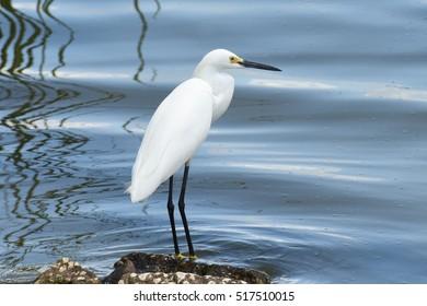 Snowy Egret in Lakeland, Florida Egretta thula
