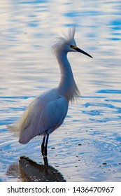 a snowy egret at the marsh