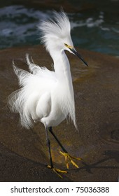 Snowy Egret in Mating Plumage