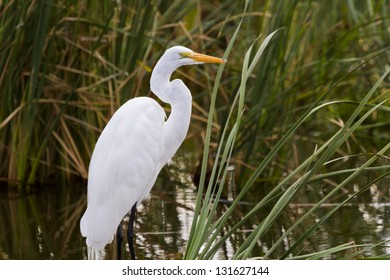 Snowy egret in natural habitat on South Padre Island, TX.