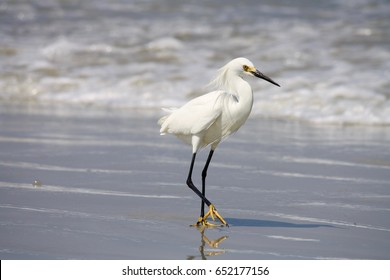 Snowy Egret at New Smyrna Beach, FL