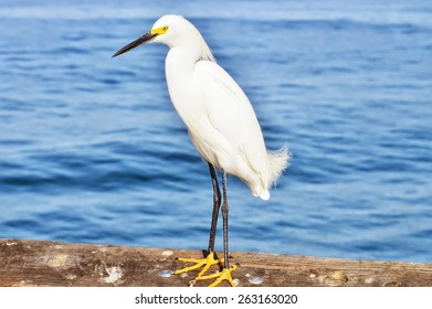 Snowy egret at the ocean.