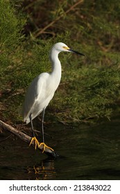 snowy egret on the calavera lake