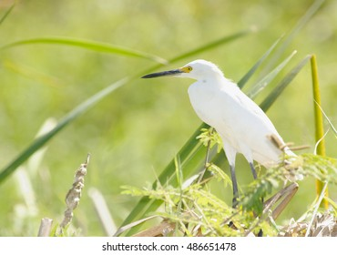 Snowy Egret, Palo Verde National Park, Costa Rica