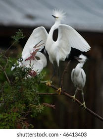 Snowy egret perched on a branch with its young