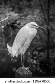 Snowy Egret perched on a fence. Black and white photograph. Taken at Brookgreen Gardens in South Carolina