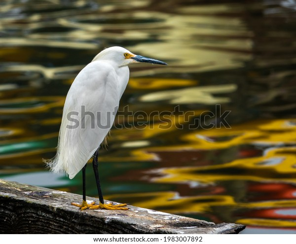 A Snowy Egret perched on a rail overlooking reflections in the water of the Moss Landing Harbor, along the Pacific Coast of California in Monterey.
