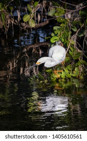 A snowy egret perches just above the water waiting for a meal to swim near in Ding Darling National Wildlife Refuge on Sanibel Island, Florida.