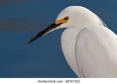 Snowy egret portrait against blue background.