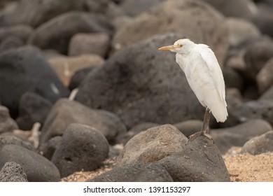 Snowy Egret - Posing on the Rock