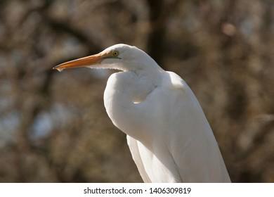 Snowy Egret Profile facing Left