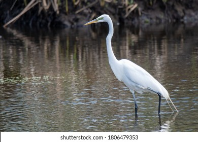 Snowy Egret in the river