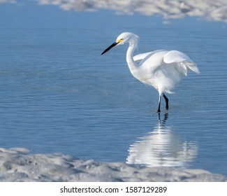 Snowy egret at the shore with a reflection