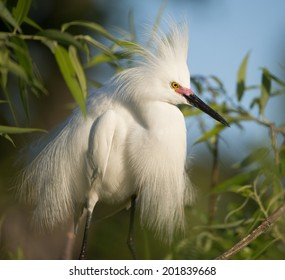 Snowy Egret showing breeding plumage