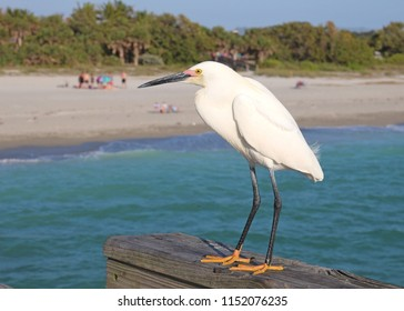 Snowy Egret showing its yellow feet. Is it waiting for its next meal from the local fishermen or is it about to go fishing itself?  Taken at Venice on the east coast of Florida in April 2018.