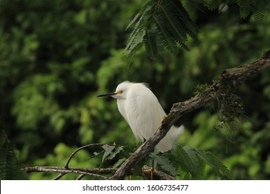 Snowy egret sitting on a branch in Amazon Rainforest in Cuyabeno Wildlife Reserve, Ecuador.