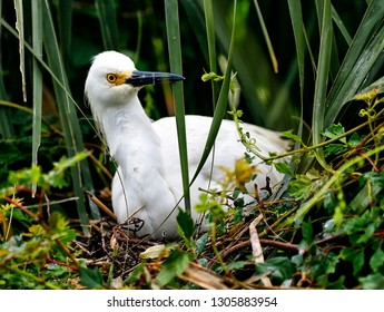 Snowy Egret sitting on egg in nest in northern Florida