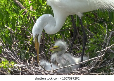 "The snowy egret is a small white heron. The genus name comes from the Provençal French for the little egret aigrette, a diminutive of aigron, ""heron""."