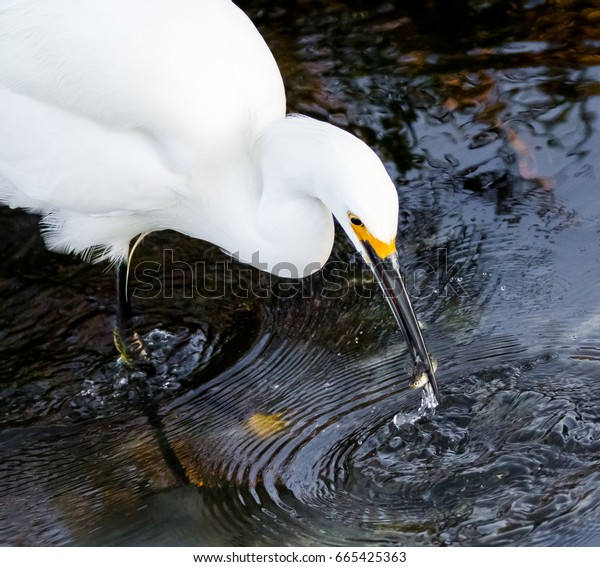A snowy egret snags a meal at Bolsa Chica Ecological Reserve in Huntington Beach, CA.