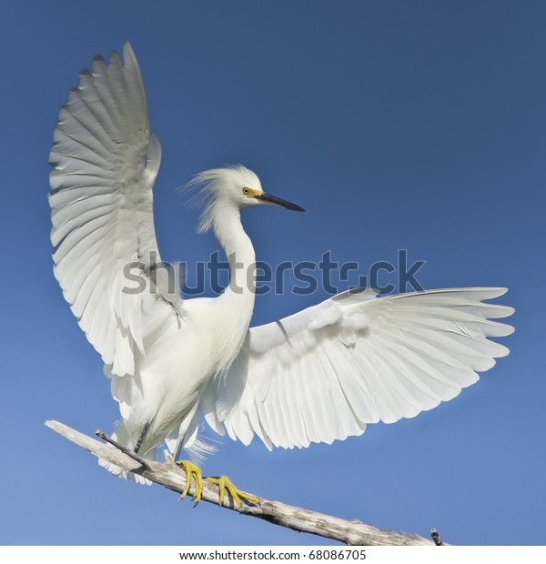 Snowy egret with spreaded wings.  Latin name - Egretta thula. Focus on eye. Very detailed high resolution image.